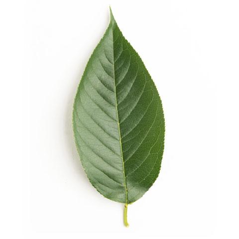 cherry tree leaf sawmill buy black cherry timber in michigan