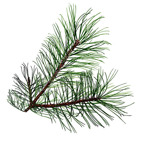 Pine needles buy pine trees in michigan